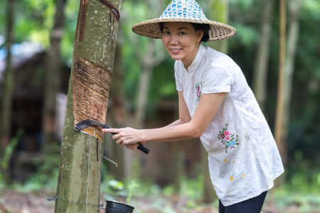 woman farmer rubber tapping in rubber plantations. photo