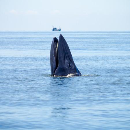 Wal taucht aus dem Wasser für Fisch essen. Standard-Bild - 33472014