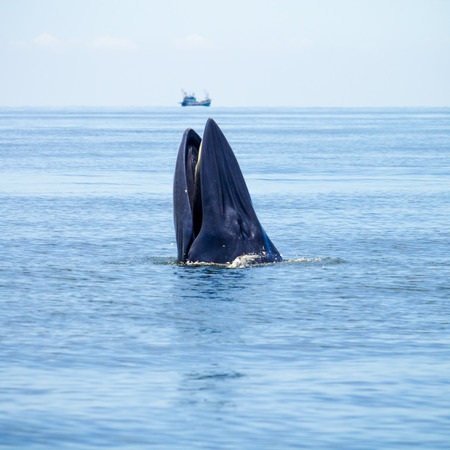 Whale emerges from water for eat fish. Stock Photo