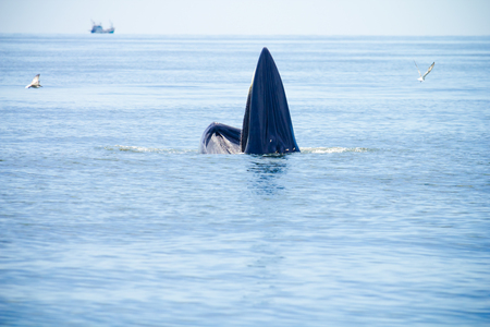 Whale emerges from water for eat fish. photo