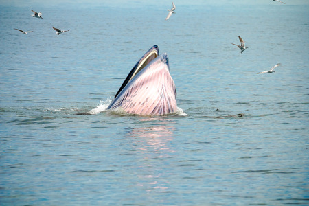 breaching: Whale emerges from water for eat fish. Stock Photo