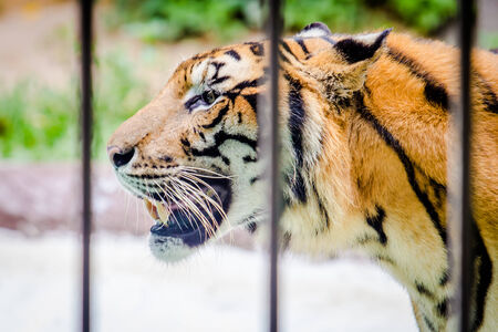 close up tiger in a cage at the zoo photo