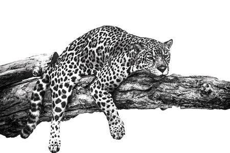 Leopard lying on a timber in a monochrome image.