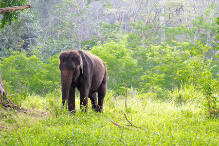 asian elephent in the forest, thailand photo