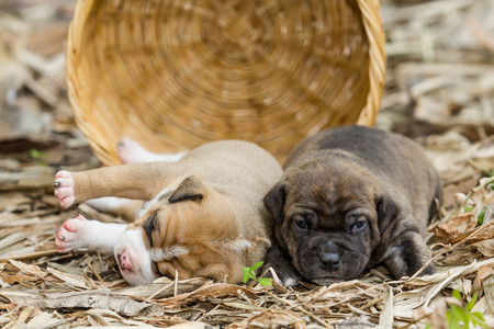 pit bull: pit bull puppy dog sleeping on sward