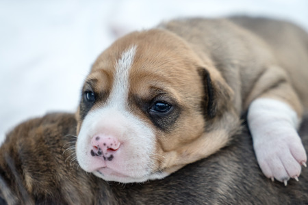 pit bull: close up beby pit bull puppy dog