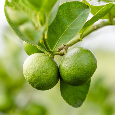 Nahaufnahme Grün Kalk auf Baum Standard-Bild - 38438696