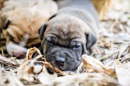 pit bull: pit bull puppy dog sleeping on ground