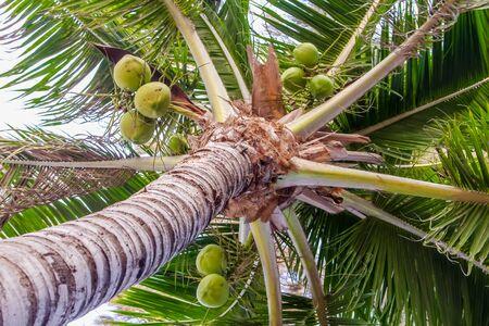 green coconut tree photo