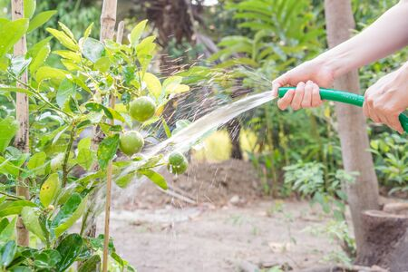 lime tree: women watering lime tree in the garden