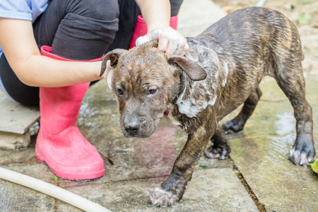female in douche: A dog taking a shower with soap