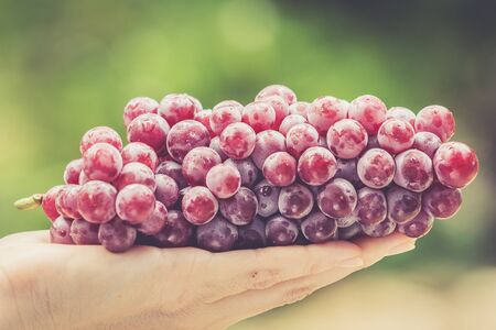 bunch of grapes: women hand holding fresh red grape Stock Photo