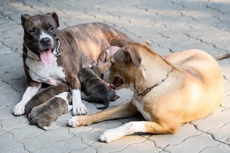 black and white pit bull: pitbull puppy dog and dog mom