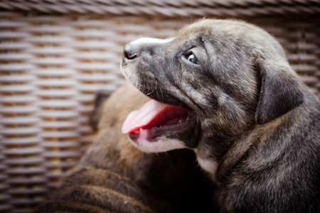 black and white pit bull: close up cutie pitbull puppy dog in the basket Stock Photo