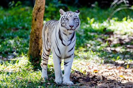 Weißer Tiger im Zoo Standard-Bild - 58982425