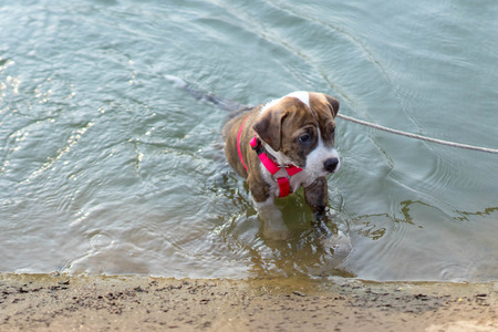 pit bull: Pit bull dog swimming in the water Stock Photo