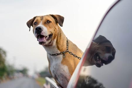 pitbull dog traveling on pickup car Stock Photo