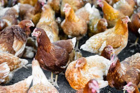 palmtop: chickens in the farm
