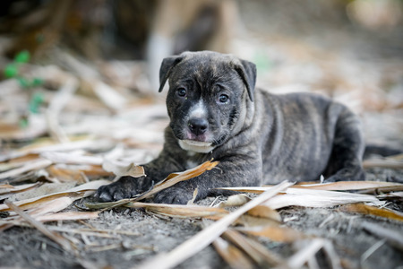 black and white pit bull: pit bull puppy dog on ground