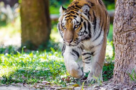 tigresa: cerca de Big tigre de Bengala en el zoológico