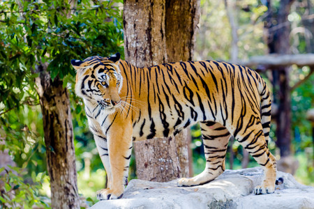 tigresa: Big Bengal Tiger in the zoo