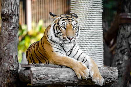 Big Bengal Tiger in the zoo