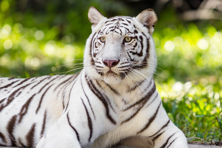 close up white tiger sitting  in the zoo