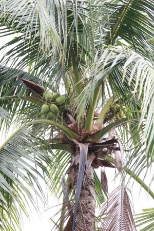 zatkanie: Coconut