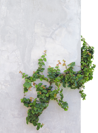ivy wall: ivy isolated on background concrete wall Stock Photo