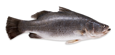 Fresh seabass fish isolated on a white background