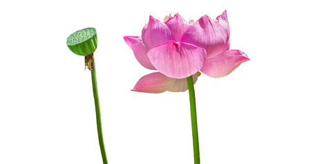 Pink lotus flower and seeds isolated on white background