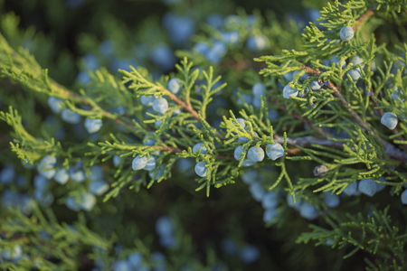 Branches of juniper with mature blue berries close-up macro Stock Photo
