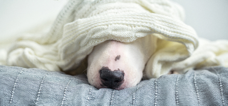 A cute tender white English bull terrier is sleeping on a bed under a white knitted blanket. Winter Is Coming 写真素材