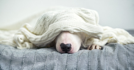 A cute tender white English bull terrier is sleeping on a bed under a white knitted blanket. Winter Is Coming 版權商用圖片