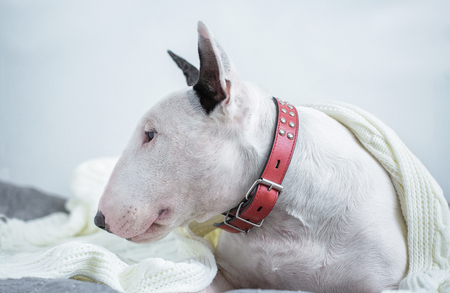 A cute white English bull terrier is sleeping on a bed under a white knitted blanket. Winter Is Coming 写真素材 - 114256916