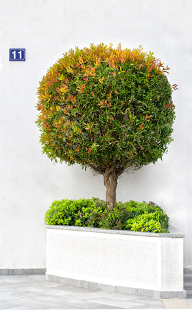 Circle-trimmed miniature tree in a stone pot on a white wall background Standard-Bild - 122842767