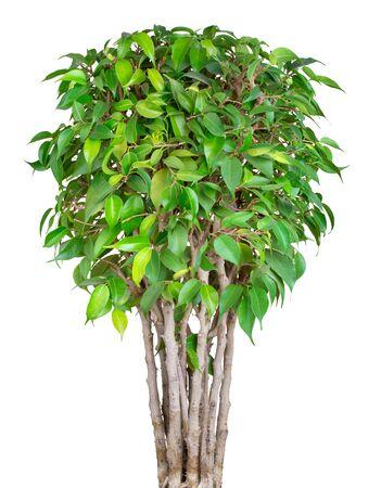 Bonsai round shape tree Ficus Benjamin isolated on white background