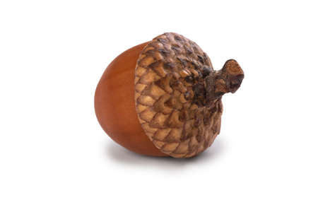 Single ripe acorn isolated on white background Standard-Bild