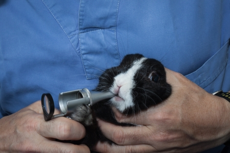 Veterinarian examining a black and white rabbit photo