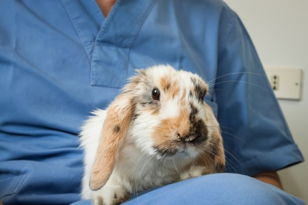 Veterinarian with an orange and white rabbit Stock Photo