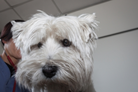 West highland white terrier dog with veterinarian