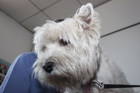 West highland white terrier dog with veterinarian photo
