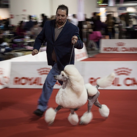 MILAN, ITALY - JANUARY 11: Intentionally blurred breeder and his poodle run at the international dogs exhibition of Milan, the most important dog show in Italy, on JANUARY 11, 2014 in Milan.