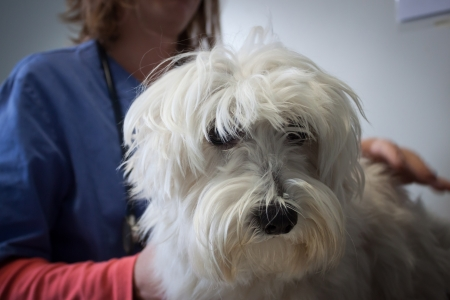 West highland white terrier dog with veterinarian during examination photo