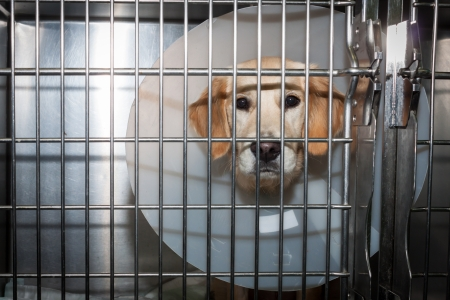 inpatient: Convalescent dog with big Elizabethan collar in Stock Photo