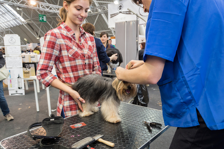 primp: MILAN, ITALY - JUNE 12: Dog grooming at Quattrozampeinfiera, event and activities dedicated to dogs, cats and their owners on JUNE 12, 2016 in Milan. Editorial