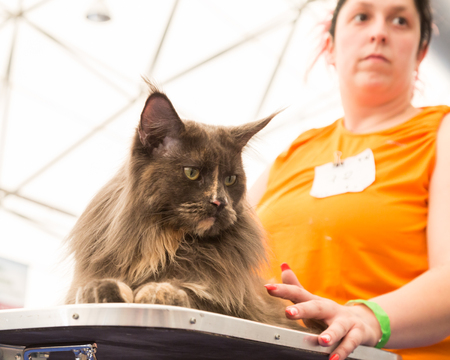 exposition: MILAN, ITALY - JUNE 10: Beautiful cat at Quattrozampeinfiera, event and activities dedicated to dogs, cats and their owners on JUNE 10, 2017 in Milan.