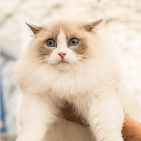 MILAN, ITALY - JUNE 10: Beautiful cat at Quattrozampeinfiera, event and activities dedicated to dogs, cats and their owners on JUNE 10, 2017 in Milan.