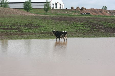 A young heifer stands in a flooded pasture on a farm. Stock Photo
