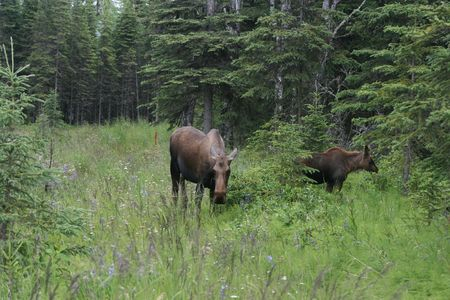 A moose with her calf grazing in Alaska. 版權商用圖片